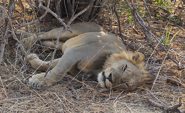 Lots of sleeping lion as well