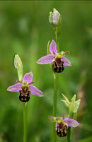 Three Bee Orchids