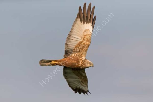 Marsh harrier
