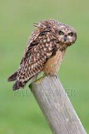 001 Short-eared owl