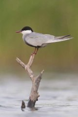 Whiskered tern