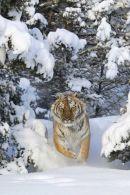 002 Tiger