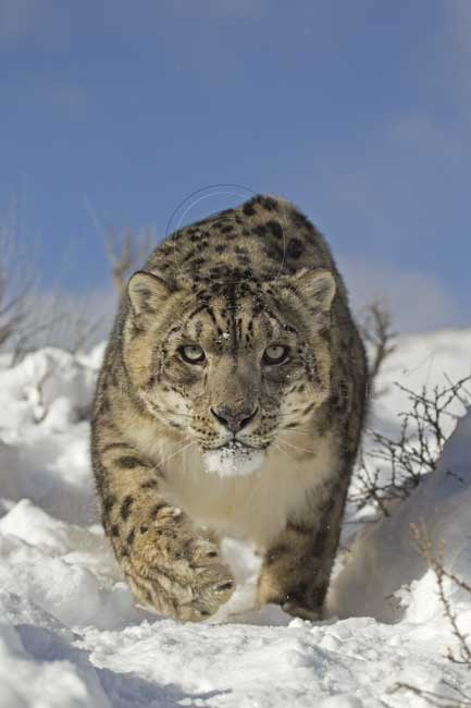 Snow leopard stalking