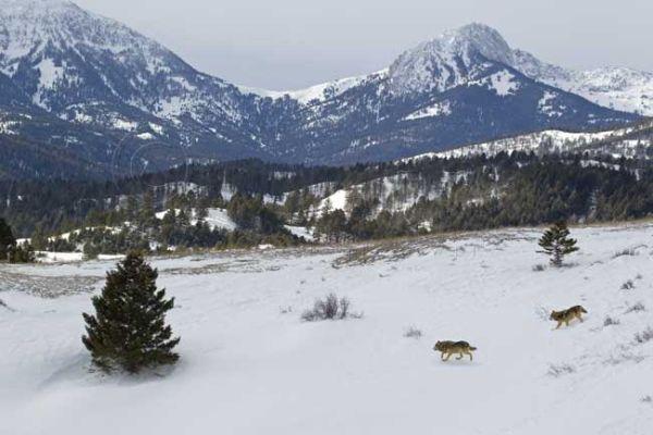 Wolf landscape