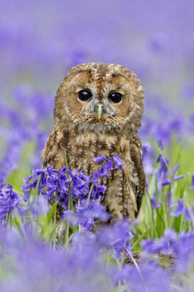 001 Tawny owl