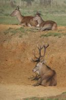 002 Red Deer