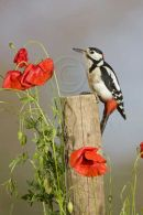 001 Great-spotted woodpecker
