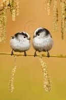 001 Long-tailed tit