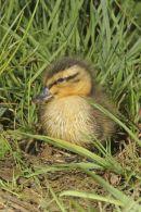 002 Mallard Duckling