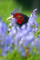 001 Pheasant