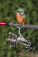 002 Kingfisher