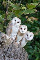 004 Barn owl