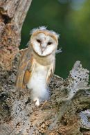001 Barn Owl