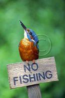 004 Kingfisher