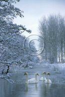 001 Mute Swans