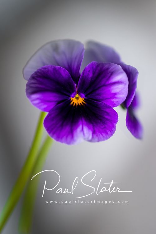 Flower detail - Pansy