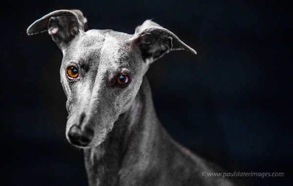 Portrait of a blue whippet dog