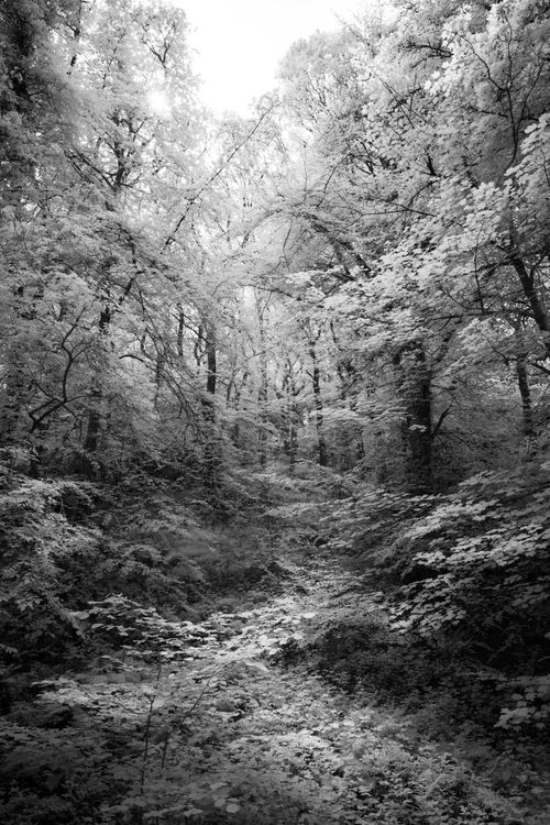 Longtimber Woods, Ivybridge Black and White Infrared Image