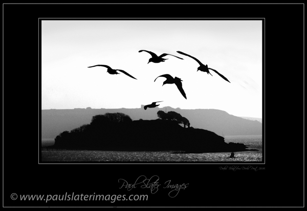 Seagulls with a backdrop of Drakes Island, Plymouth, Devon