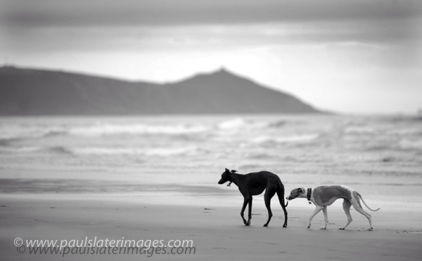 Whippets on Tregantle Beach, Cornwall.