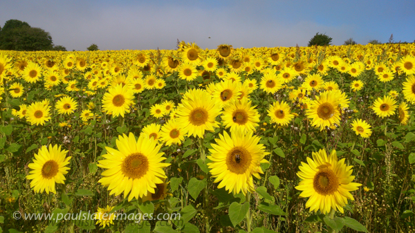 Sunflower field, Churchtown Farm Nature Reserve, Saltash, Cornwall.