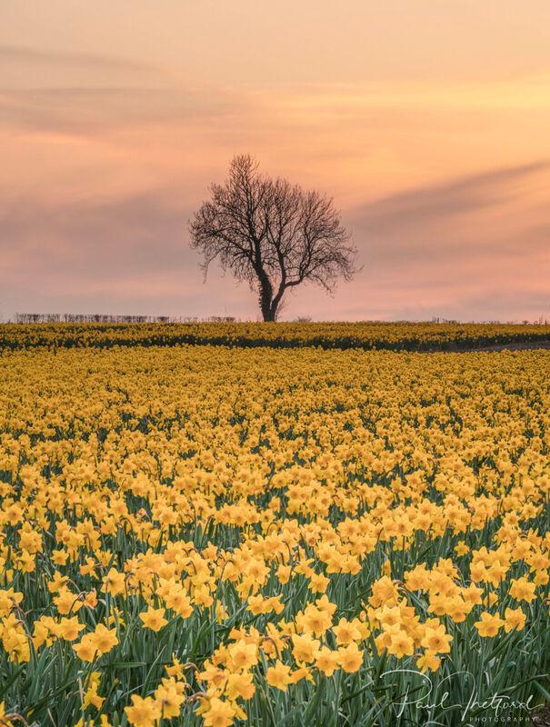 Golden Spring Daffodils 3
