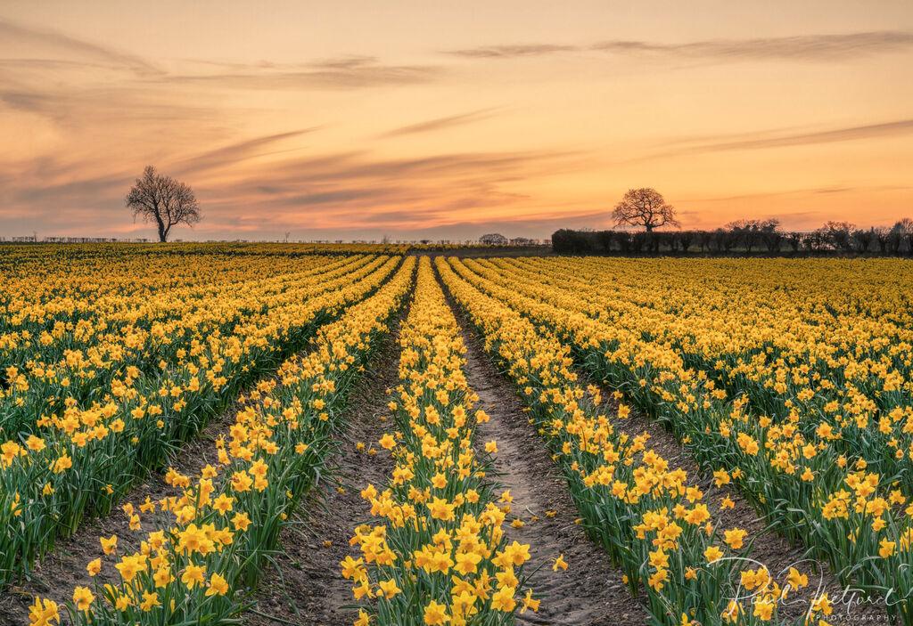 Golden Spring Daffodils 6