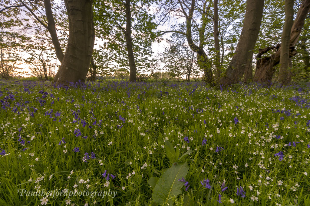 Bluebell walk 5
