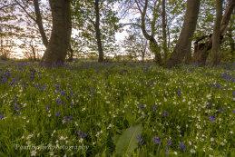Bluebell walk 5