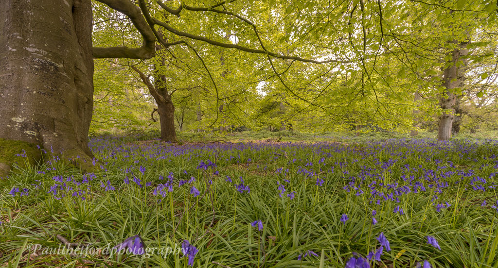 Bluebell walk 4
