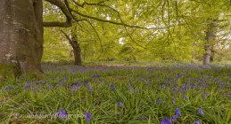 Bluebell walk 4