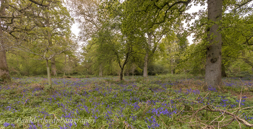 Bluebell walk 3
