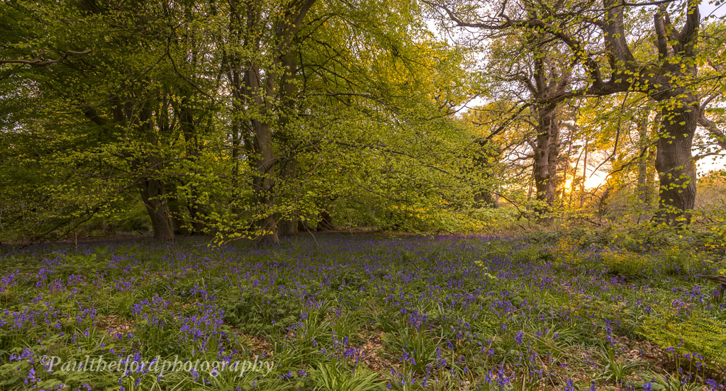 Bluebell walk 2
