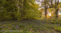 Bluebell walk 2