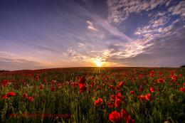 Norfolk Poppies 2  (2014)