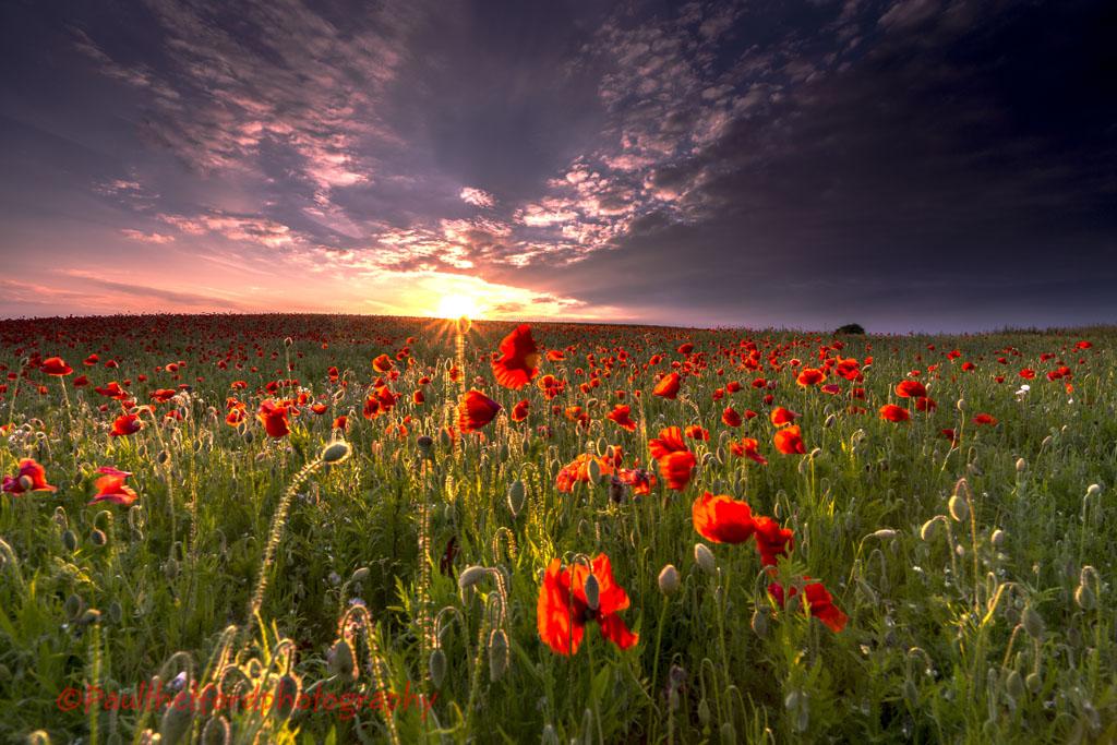 Norfolk Poppies 3  (2014)