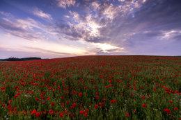 Norfolk Poppies 5  (2014)