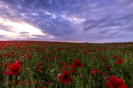 Norfolk Poppies 6  (2014)