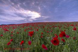 Norfolk Poppies (2014)