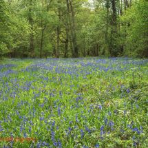 Foxley Bluebells 2