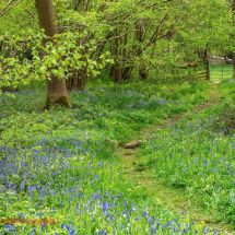 Foxley Bluebells 4