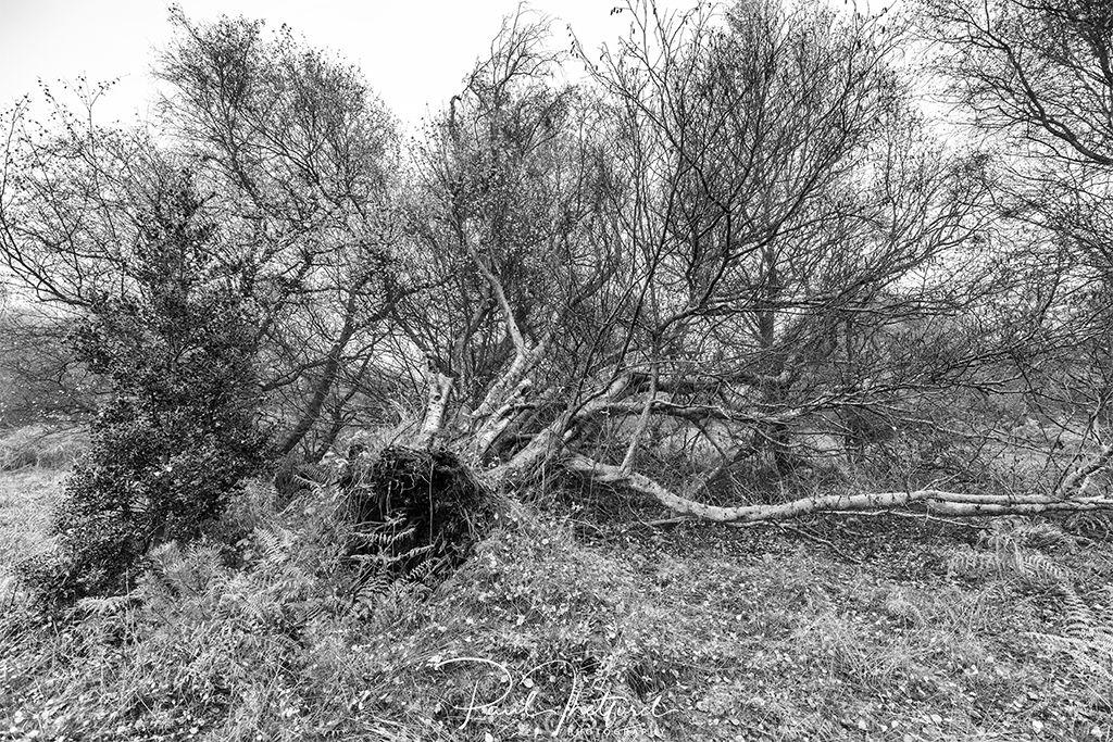 Fallen Silver Birch
