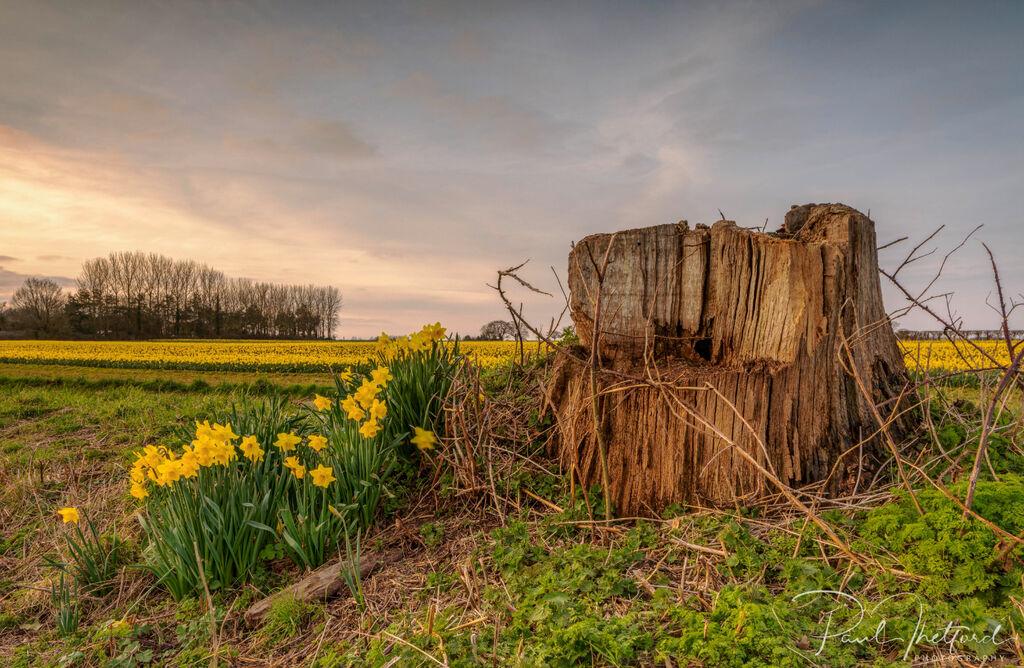 Golden Spring Daffodils 4