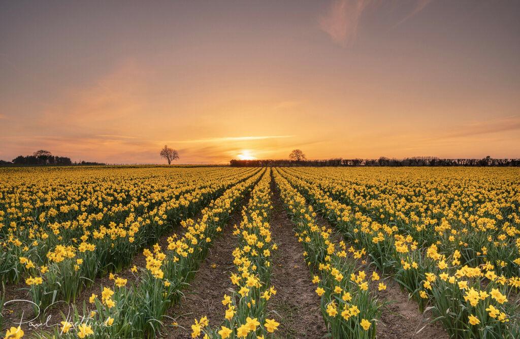 Golden Spring Daffodils 2