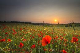 Norfolk Poppies 1