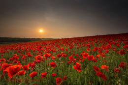 Norfolk Poppies 4