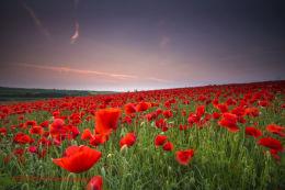 Norfolk Poppies 5