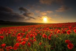 Norfolk Poppies 2013/1