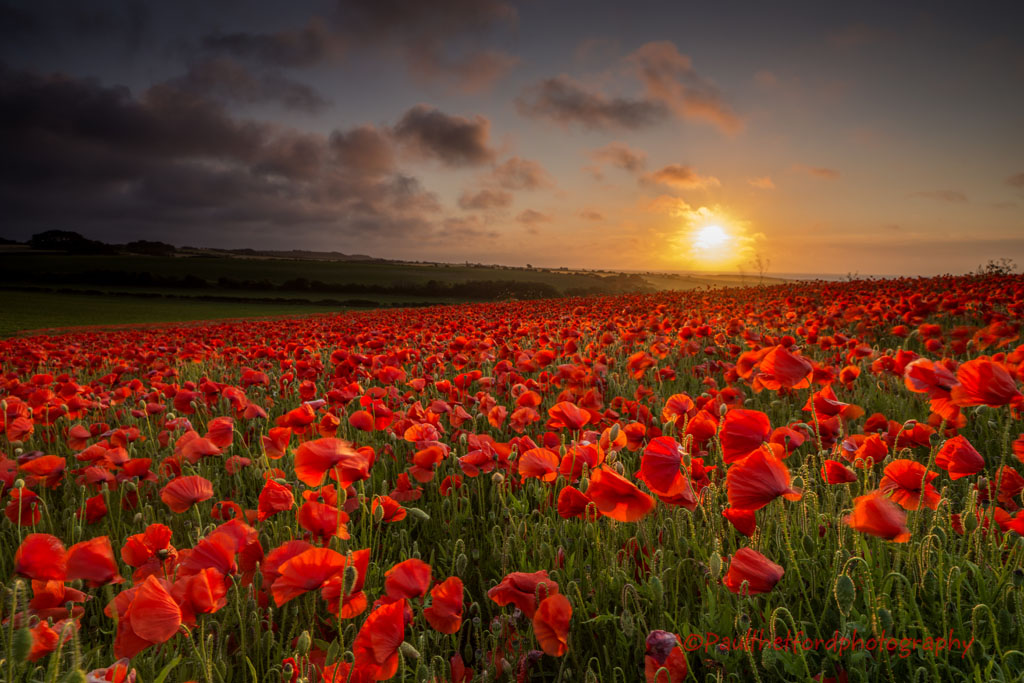 Norfolk Poppies 2013/3