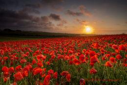 Norfolk Poppies 2013/3